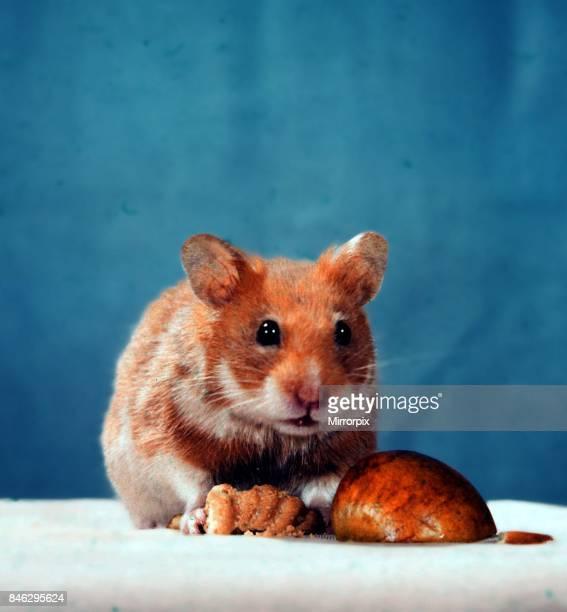 A Golden Hamster pet Circa 1980
