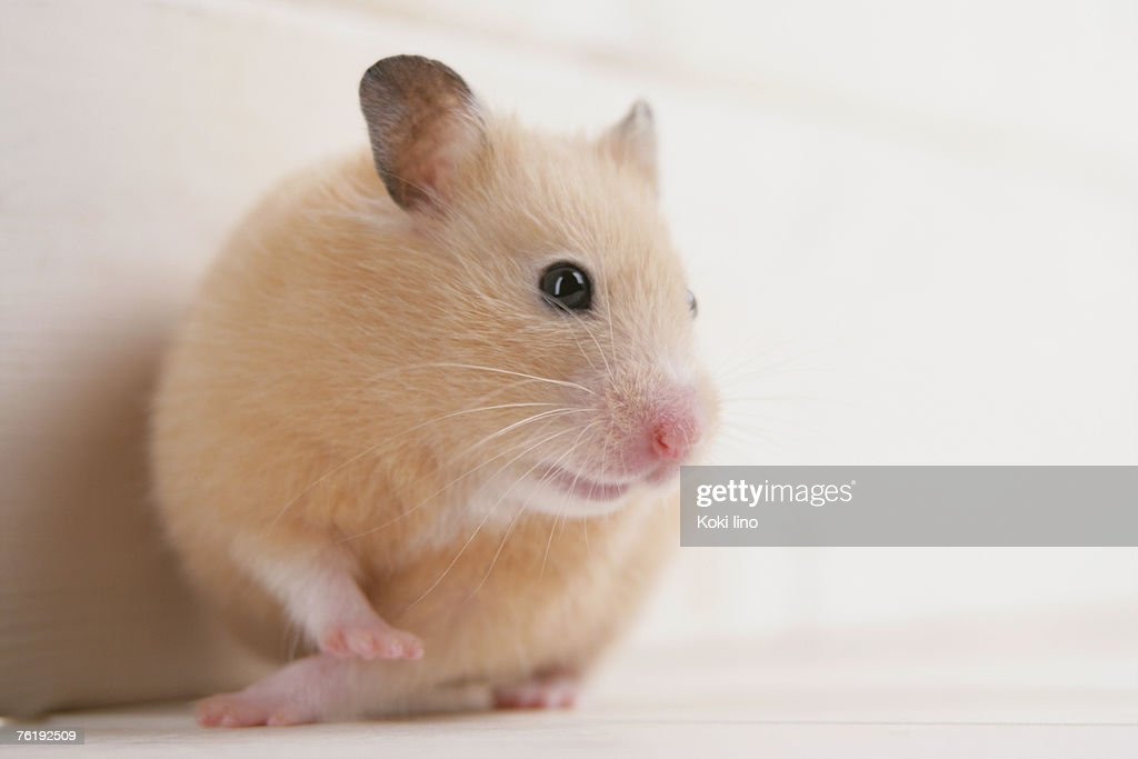Golden hamster : Stock Photo