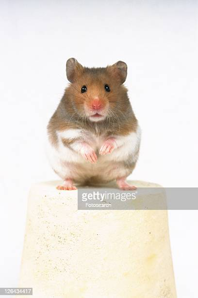 Golden Hamster Standing on a White Flower Pot, Looking at Camera, Front View