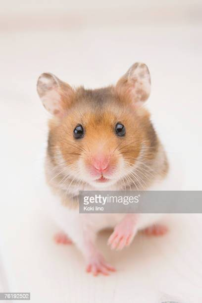 Golden hamster standing