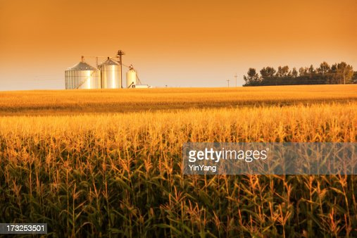 Golden Harvest Sunrise with Corn Field and Grain Bin Silo