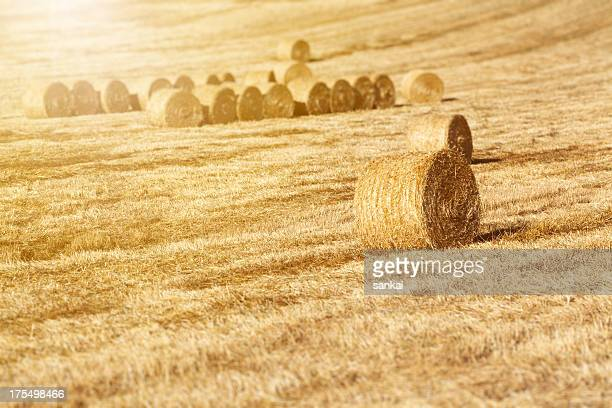 Golden haystacks on the field