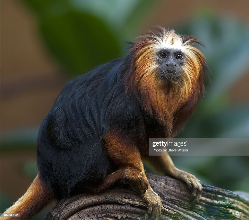 Golden headed kion tamarin : Stock Photo