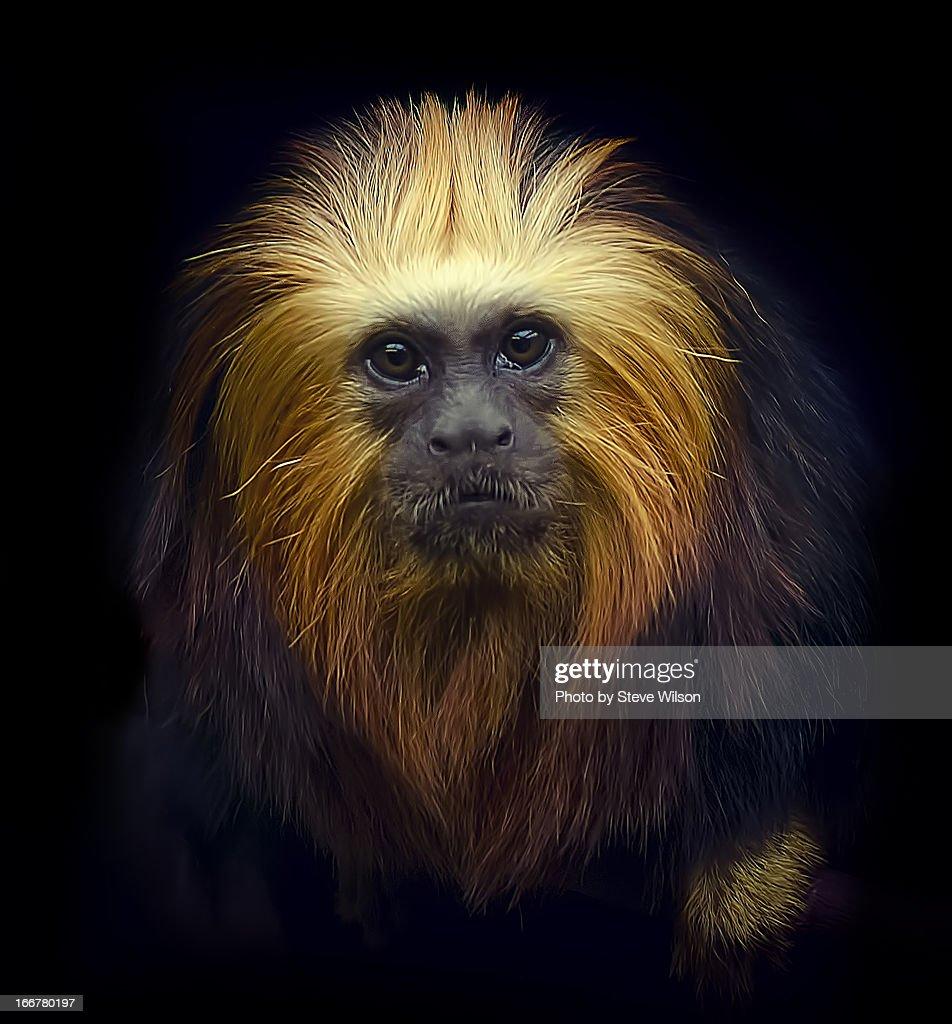 Golden headed Lion Tamarin : Stock Photo