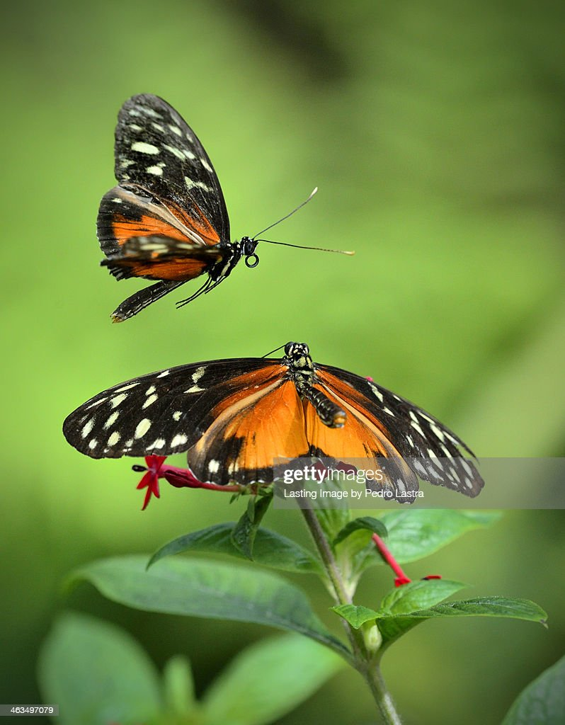Golden Heliconius Butterflies in Mating Display