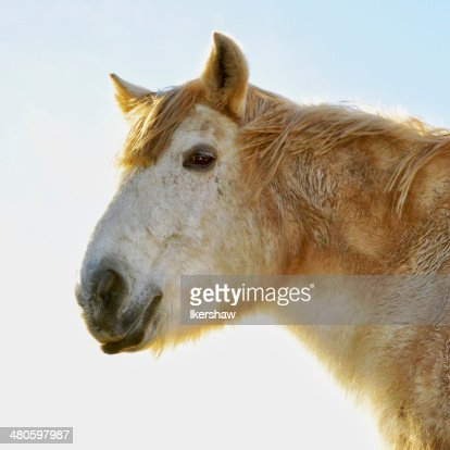 Golden Horse : Stock Photo