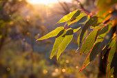 afternoon in the Australian Bush.  Sunlight glowing golden on a eucalyptus sapling.