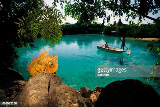 Golden Iguana by Lagoon in Cozumel