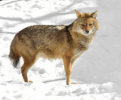 Golden jackal (Canis aureus) in winter