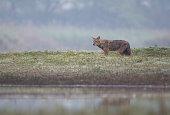 Golden jackal looking for hunt