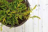Golden Juniper ground cover plant in wicker basket, green yellow branches on white painted wooden background