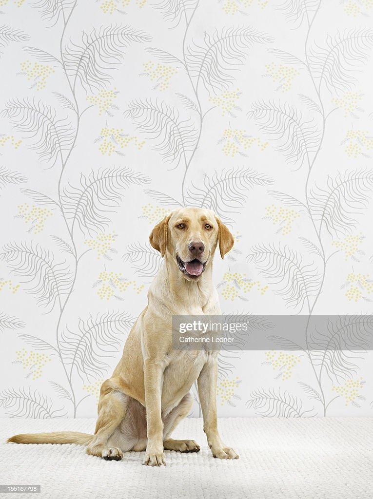 Golden Lab (Canis lupis familiaris) sitting : Stock Photo