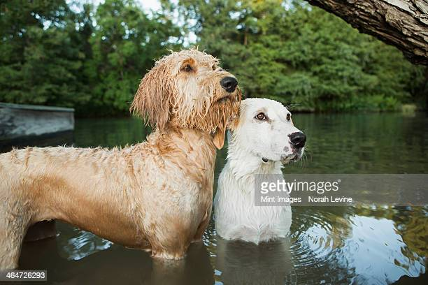 A golden labradoodle and a small white mixed breed dog standing in the water looking up expectantly.