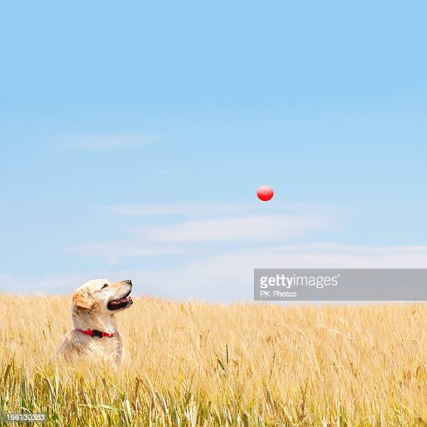 Golden Labrador catching red ball in wheat field