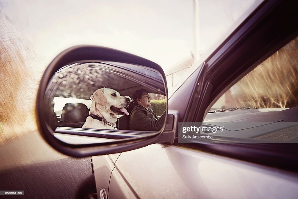 Golden Labrador dog in a car : Stock Photo