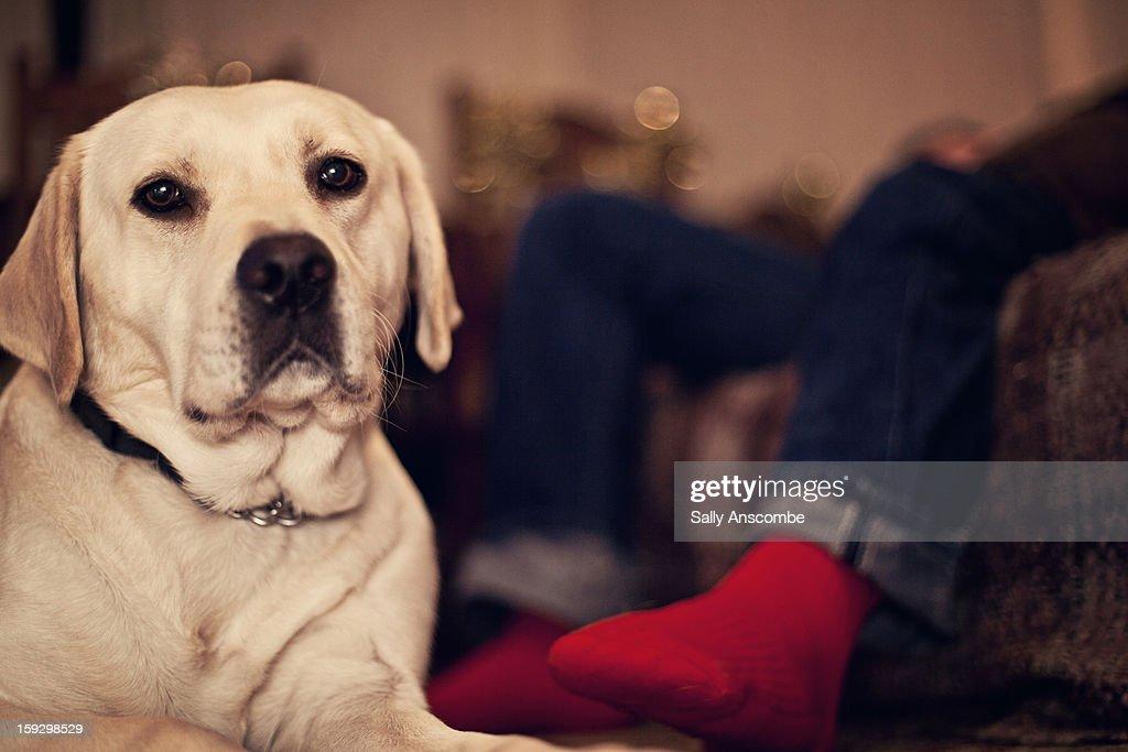 Golden Labrador dog : Stock Photo