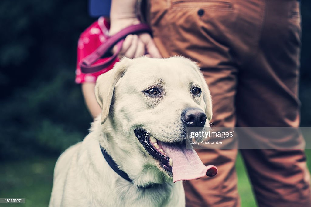Golden Labrador dog : Stock Photo