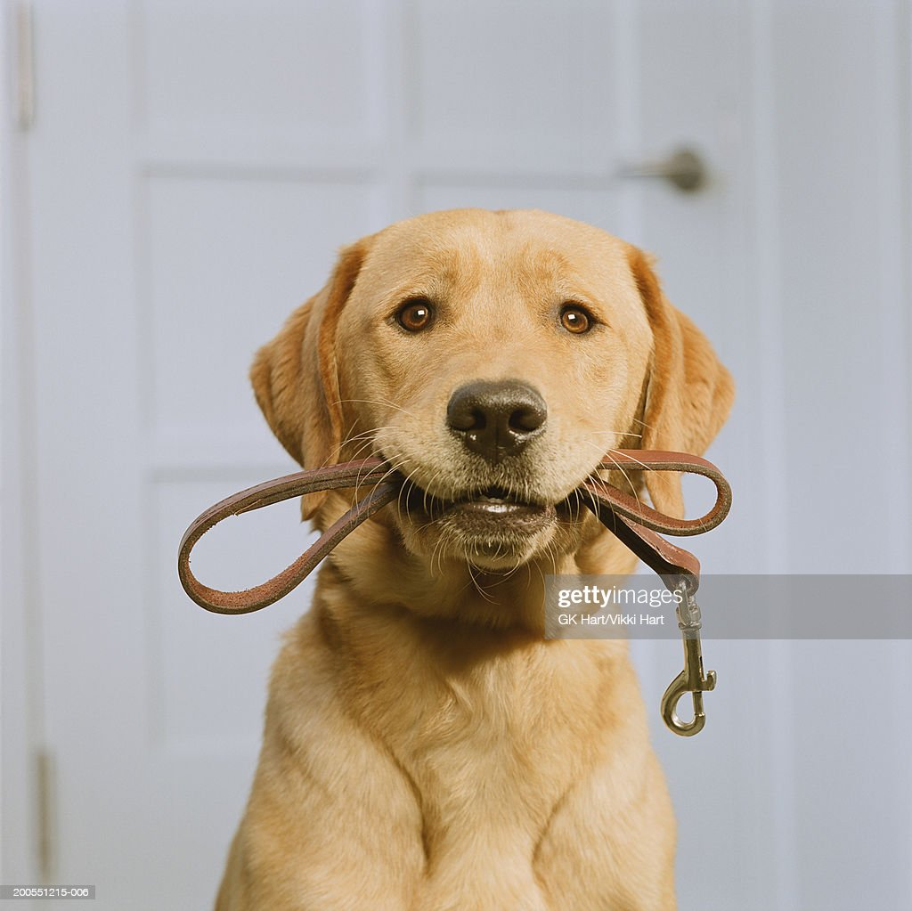 Golden Labrador holding leash in mouth : Stock Photo