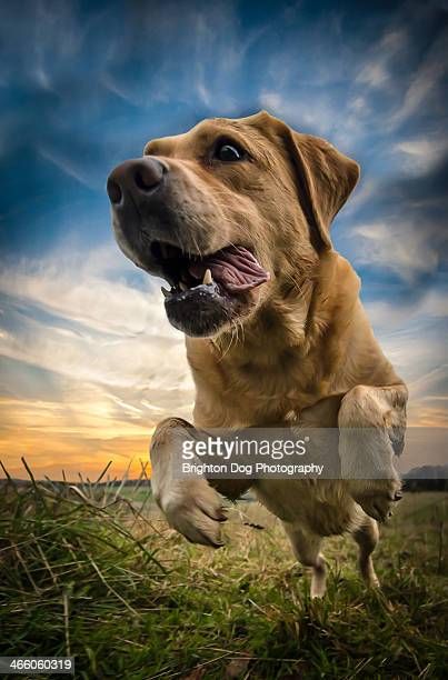 A Golden Labrador jumps towards the camera