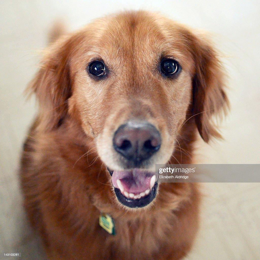 Golden Labrador : Stock Photo
