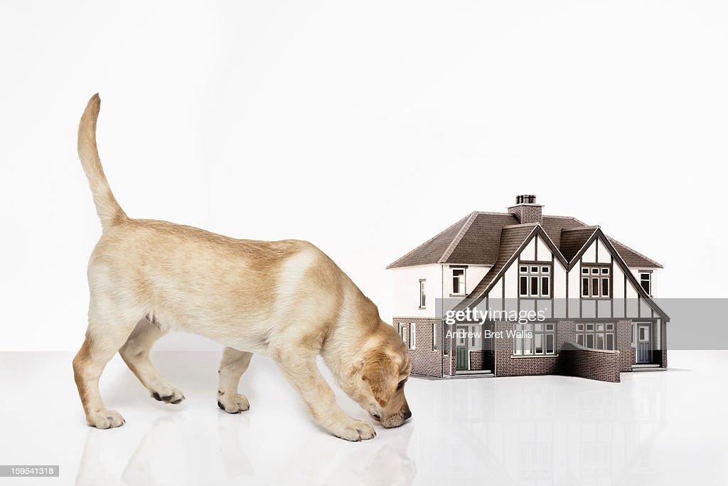 golden labrador puppy alongside a model house : Stock Photo