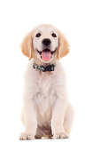 picture of a cute little golden labrador retriever puppypicture of a cute little golden labrador retriever puppy