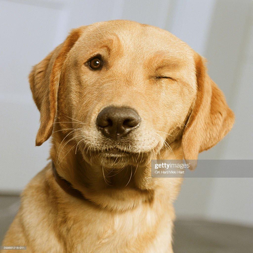 Golden Labrador winking, close-up : Stock Photo