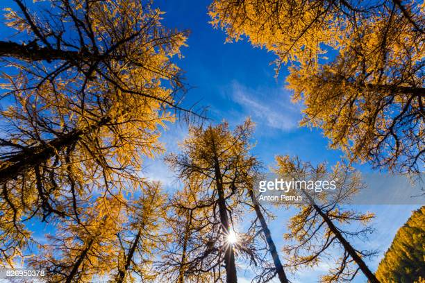 Golden larch in the autumn in the mountains