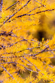 Larch trees turned golden during Autumn in the Canadian Rockies. Although they are conifers, these larch tree pines will lose their needles as Winter arrives.