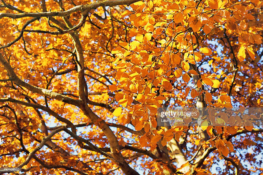 Golden leaves : Stock Photo