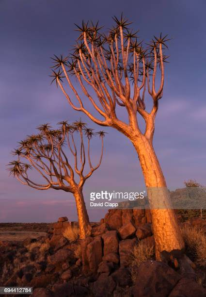 Golden light on Quiver trees in Namibia