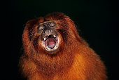 Golden lion tamarin, (Leontopithecus rosalia), Brazil, South America