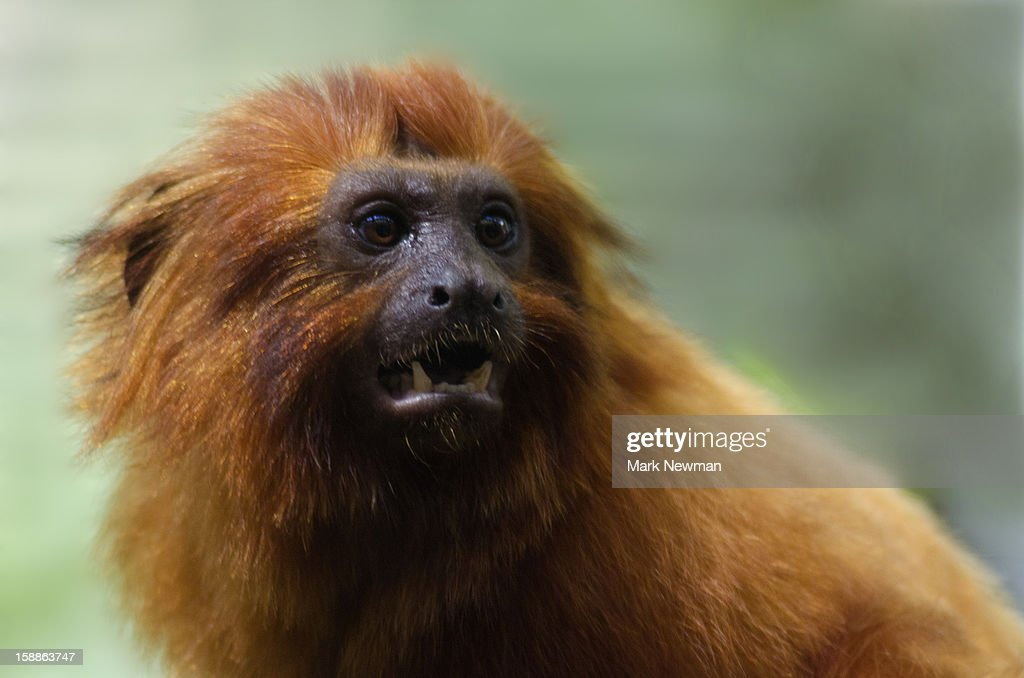 Golden Lion Tamarin, closeup : Stock Photo