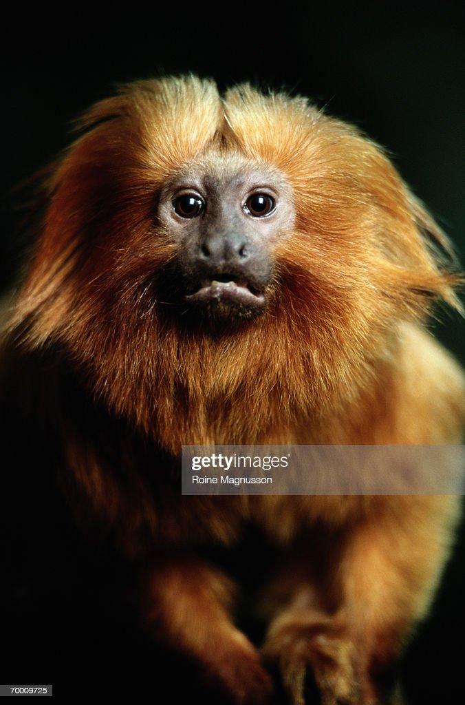 Golden lion tamarin (Leontopithecus rosalia), close-up : Stock Photo