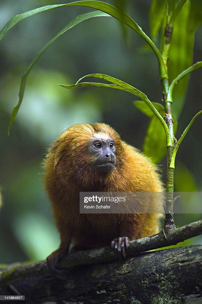 Golden Lion Tamarin, Leontopithecus rosalia. Wild. Endangered Species. Poco das Antes Reserve, Riode Janeiro State. Atlantic Forest. Southeast Brazil : Stock Photo