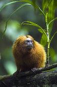 Golden Lion Tamarin, Leontopithecus rosalia. Wild. Endangered Species. Poco das Antes Reserve, Riode Janeiro State. Atlantic Forest. Southeast Brazil