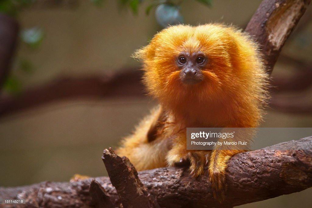 Golden lion tamarin monkey : Stock Photo