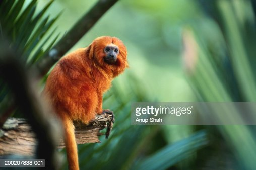Golden lion tamarin (Leontopithecus rosalia) sitting, close up : Stock Photo