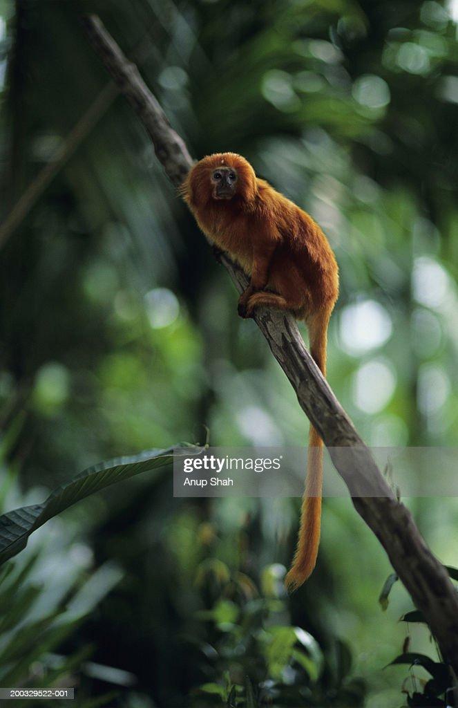 Golden lion tamarin (Leontopithecus rosalia) sitting on branch : Stock Photo