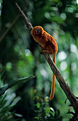 Golden lion tamarin (Leontopithecus rosalia) sitting on branch