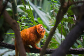 Golden lion tamarins (Mico leao dourado) are  a specie of monkeys native to the Atlantic Forest of Brazil