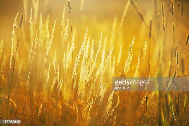 Golden lit wild grass