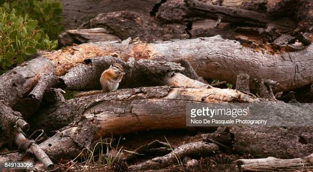 Golden mantled ground squirrel, Bryce Canyon
