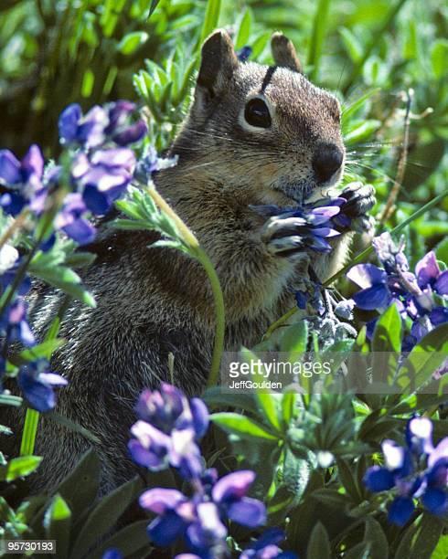 Golden Mantled Ground Squirrel in Lupine