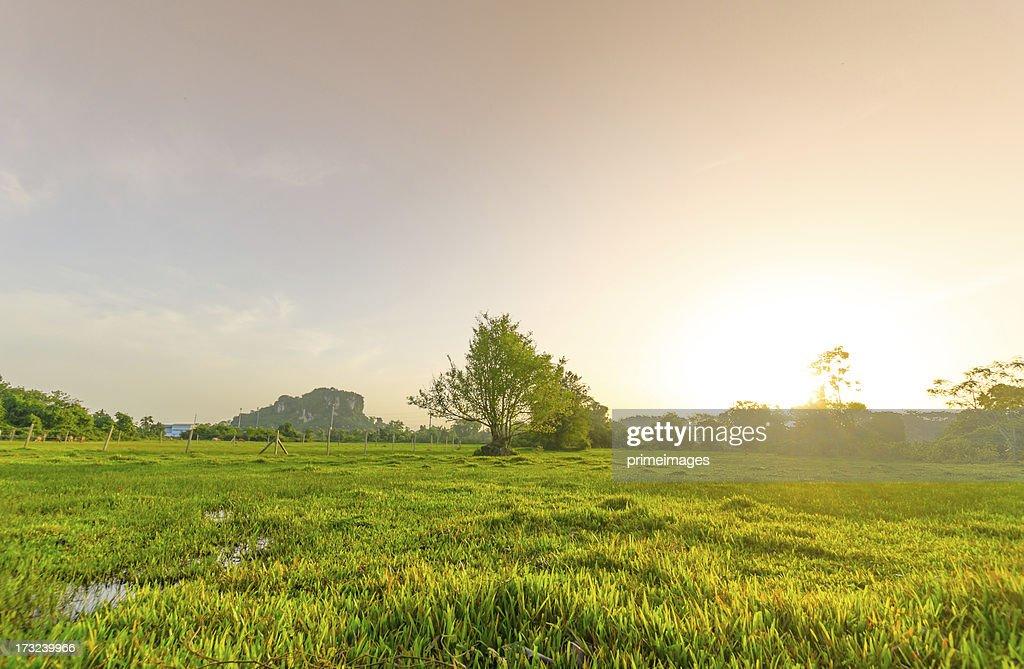 Golden meadow in summer : Stockfoto