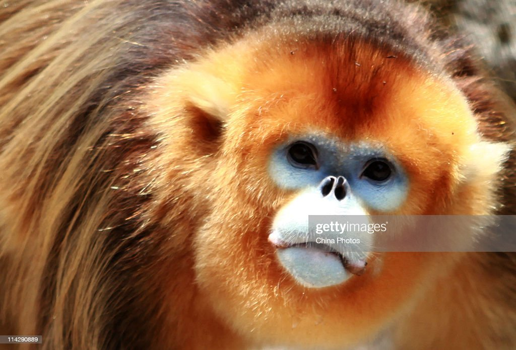 A golden monkey looks for food at the Dapingyu Scenic Spot on May 15, 2011 in Foping County of Shaanxi Province, China. The golden monkey is a rare and endangered animal unique to China with a small quantity, mainly distributed in Sichuan, Gansu, Shaanxi and Hubei provinces. According to researchers, the number of golden monkey is growing steadily in Dapingyu, with over 300 heads of the species of more than five groups found in some forests in the area.