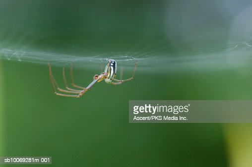 Golden orb spider (Nephila sp) on web : Stock Photo