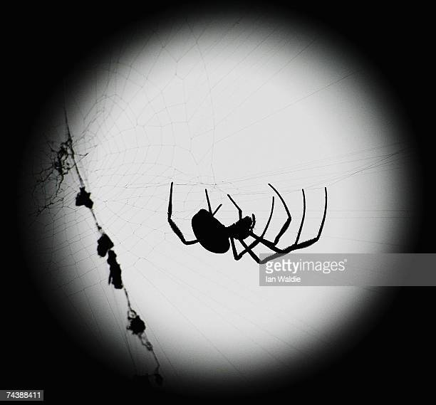 Golden Orb spider walks through it's web in front of the full moon June 3 2007 in Sydney Australia World Environment Day is marked on June 5 every...