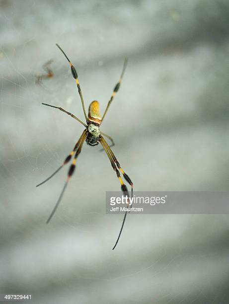 A golden orb weaver spider clings to its web.