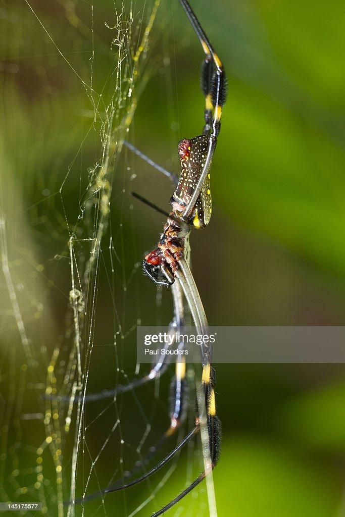 Golden Orb Weaver Spider, Costa Rica : Stock Photo